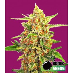 Cherry Bomb - Bomb Seeds -Regulær Cannabisfrø