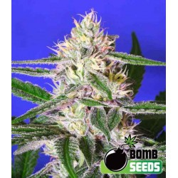 Edam (Cheese) Bomb - Bomb Seeds - Regulære Cannabisfrø