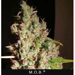 M.O.B (PURE Indica) - T.H.Seeds - Feminiseret Cannabisfrø