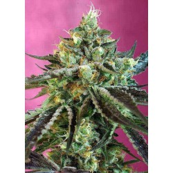 Sweet Nurse Auto CBD® - Sweet Seeds - Medical AutoFem Cannabisfrø