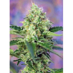 Crystal Candy® - Sweet Seeds - Feminiseret Cannabisfrø