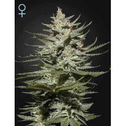 The Church CBD - Green House Seeds - Feminiseret Cannabisfrø