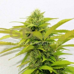Orange Kush - Green Devil Genetics - 6 stk. Feminisret Cannabisfrø