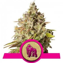 Royal Gorilla - Royal Queen Seeds - Feminiseret Cannabisfrø