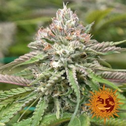 Peyote Critical Limited Edition - Barney's Farm - Feminiseret Cannabisfrø