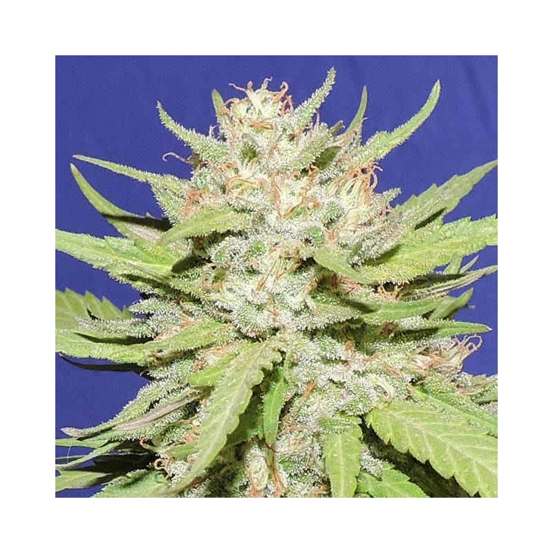 Wedding Cake - Original Sensible Seeds - 5 stk. Feminiseret Cannabisfrø