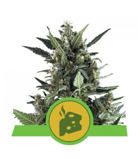 Blue Cheese Automatic - Royal Queen Seeds - AutoFem Cannabisfrø
