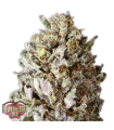 Diesel Drift - HEAVYWEIGHT SEEDS - Feminiseret Cannabisfrø
