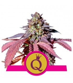 Purple Queen - Royal Queen Seeds - Feminiseret Cannabisfrø