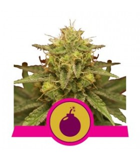 Royal Domina - Royal Queen Seeds - Feminiseret Cannabisfrø