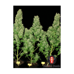 Serious Seeds - White Russian - 6 stk. Feminized