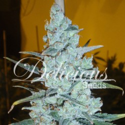 Critical jack herer 3stk.