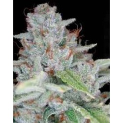 Reserva Privada - Skywalker Kush - 6 stk.