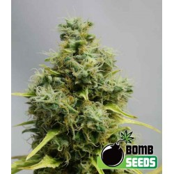 Big Bomb - Bomb Seeds - 5 stk. Femi