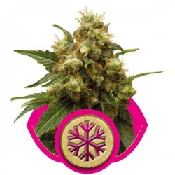 ICE - Royal Queen Seeds 1-3-5 & 10 stk.