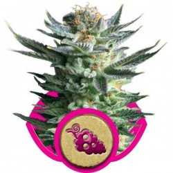 Fruit Spirit - Royal Queen Seeds 1-3-5 & 10 stk.