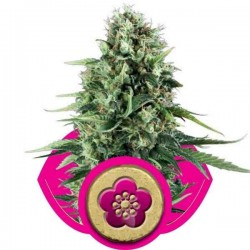 Power Flower - Royal Queen Seeds 1-3-5 & 10 stk.