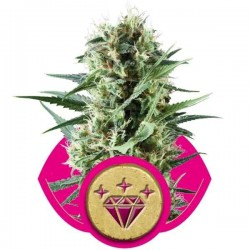 Special Kush 1 - Royal Queen Seeds 1-3-5 & 10 stk.