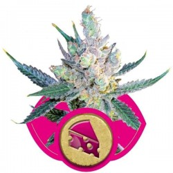 Royal Cheese(Fast Version) - Royal Queen Seeds 1-3-5 & 10 stk.
