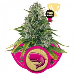 Royal Moby - Royal Queen Seeds 1-3-5 & 10 stk.