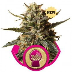 Bubblegum XL - Royal Queen Seeds 1-3-5 & 10 stk.