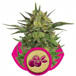 Haze Berry - Royal Queen Seeds 1-3-5 & 10 stk.