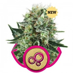 Bubble Kush - Royal Queen Seeds 1-3-5 & 10 stk.