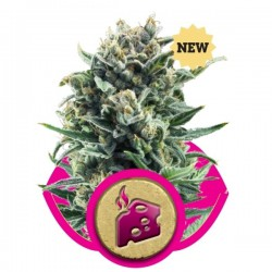 Blue Cheese- Royal Queen Seeds 1-3-5 & 10 stk.