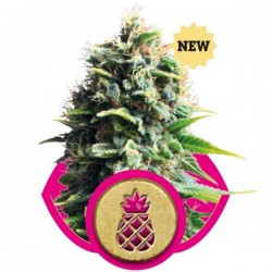 Pineapple Kush - Royal Queen Seeds 1-3-5 & 10 stk.