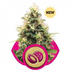 Somango XL - Royal Queen Seeds 1-3-5 & 10 stk.