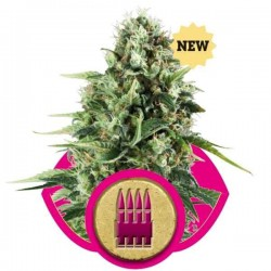 Royal AK - Royal Queen Seeds 1-3-5 & 10 stk.