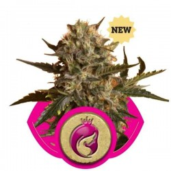 Royal Madre - Royal Queen Seeds 1-3-5 & 10 stk.