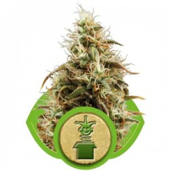 Royal Jack Automatic - Royal Queen Seeds - AutoFem Cannabisfrø