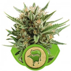 Sweet Skunk Automatic - Royal Queen Seeds - AutoFem Cannabisfrø
