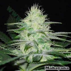 Mahayana - Karma Genetics - 12 stk. Regular