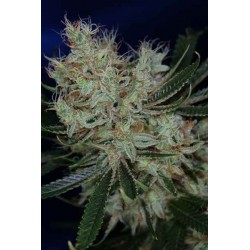 Jack The Ripper - TGA Subcool seeds - 5 stk. Regular