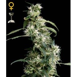 Arjan's Ultra Haze 2 - Green House Seeds - Feminiseret Cannabis frø 5 & 10 stk.