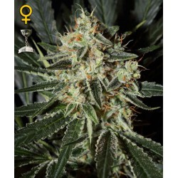 Diamond Girl - Green House Seeds - Feminiseret Cannabis frø 5 & 10 stk.