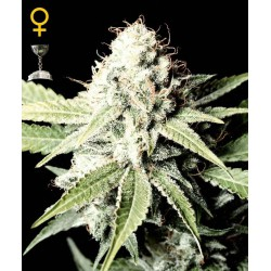 Great White Shark- Green House Seeds - Feminiseret Cannabis frø 5 & 10 stk.