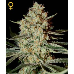 Himalaya Gold - Green House Seeds - Feminiseret Cannabis frø 5 & 10 stk.