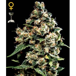 Jack Herer- Green House Seeds - Feminiseret Cannabis frø 5 & 10 stk.