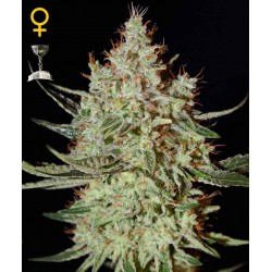 K-Train - Green House Seeds - Feminiseret Cannabis frø 5 & 10 stk.