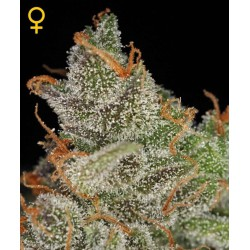 King's Kush- Green House Seeds - Feminiseret Cannabis frø 5 & 10 stk.