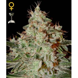 Lemon Skunk- Green House Seeds - Feminiseret Cannabis frø 5 & 10 stk.