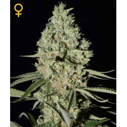 Super Critical- Green House Seeds - Feminiseret Cannabis frø 5 & 10 stk.