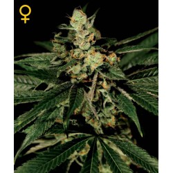 Train Wreck- Green House Seeds - Feminiseret Cannabis frø 5 & 10 stk.