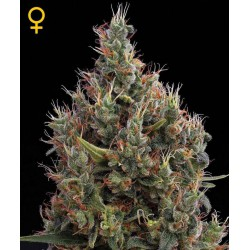 Big Bang Autoflowering - Green House Seeds - Autoflower Feminiseret Cannabis frø 5 & 10 stk.