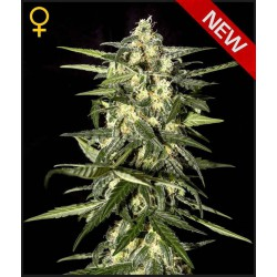 Jack Herer Auto - Green House Seeds - Autoflower Feminiseret Cannabis frø 5 & 10 stk.