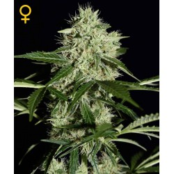 Northern Light Automatic - Green House Seeds - Autoflower Feminiseret Cannabis frø 5 & 10 stk.