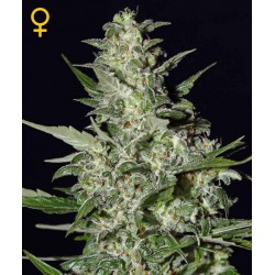Super Critical Auto - Green House Seeds - Autoflower Feminiseret Cannabis frø 5 & 10 stk.